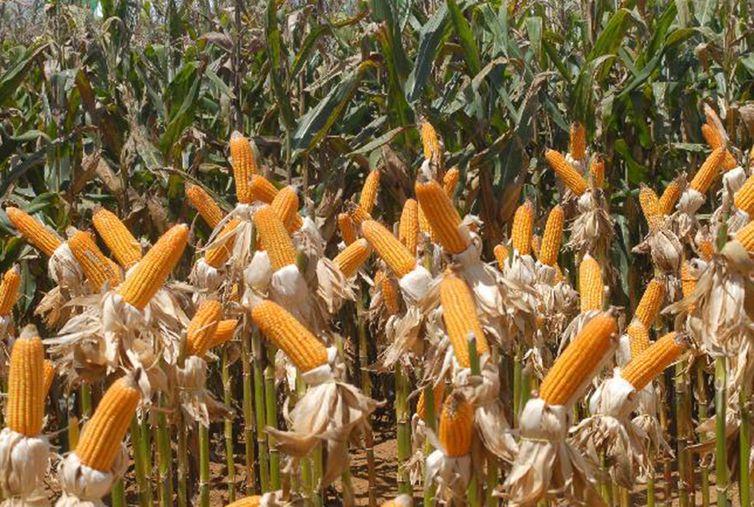 Milho respondeu por 41% da safra, diz IBGE