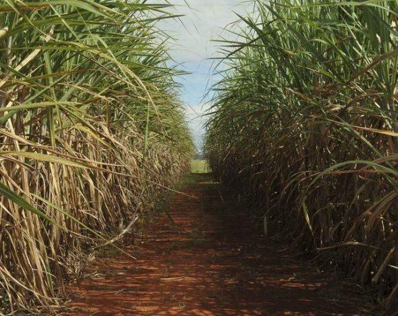 Exportações de açúcar bruto avançaram