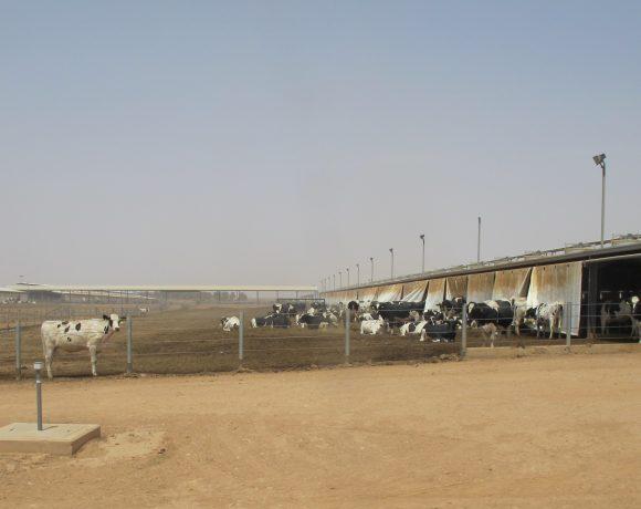 Fazenda na Arábia Saudita: Brasil poderá exportar genética animal