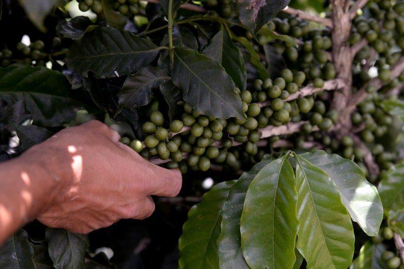 Bienalidade alavancou produção de café