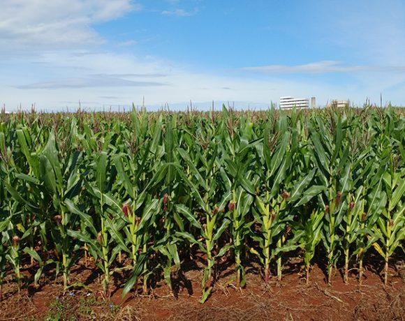 O milho registrou aumento na produção em 9,9%.