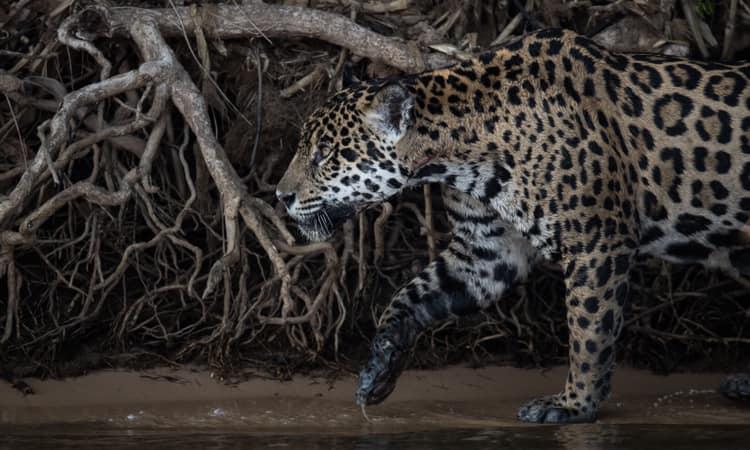 A Onça, animal típico do Pantanal