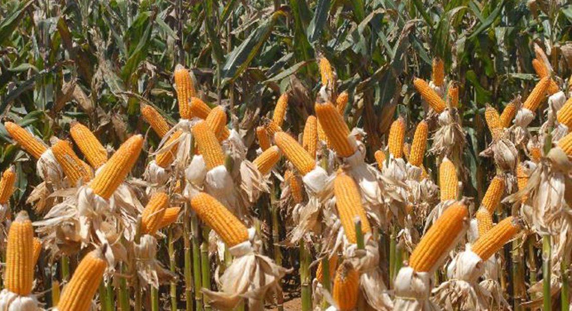 Safra de milho pode ser a segunda maior da história