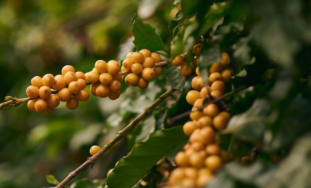 Plantação de café no interior de São Paulo