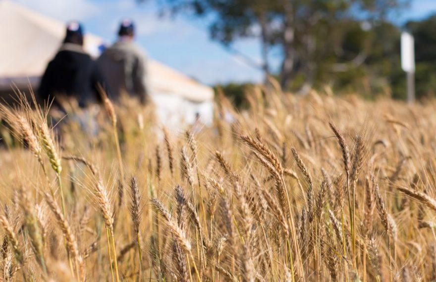 Platação de trigo