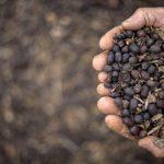 Agricultor mostra café colhido à mão