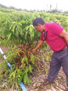 Integração café e floresta